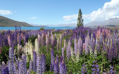 Lilacs, lupines and otters.