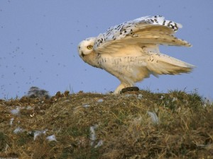 Snowy Owl Arctic National Wildlife Refuge Alaska